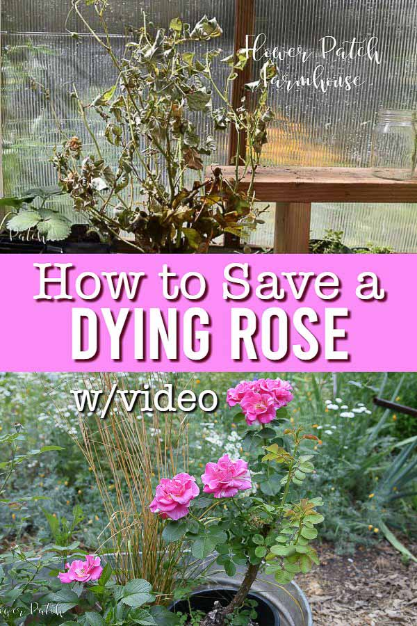 How To Save A Dying Rose Bush Flower Patch Farmhouse