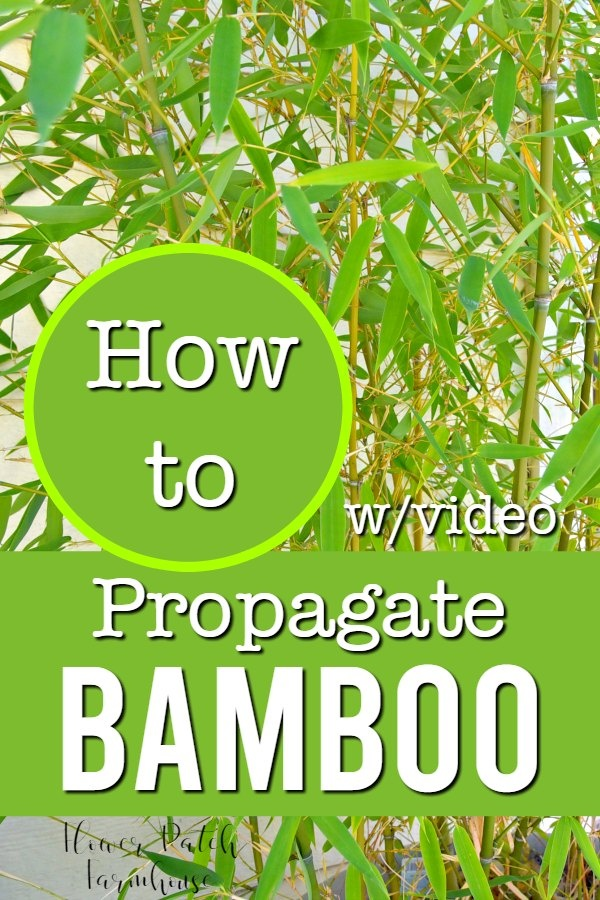 bamboo with text overlay, how to propagate bamboo with video, flower patch farmhouse