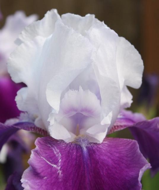 Purple And White Iris Flowerjpg 3 Comments