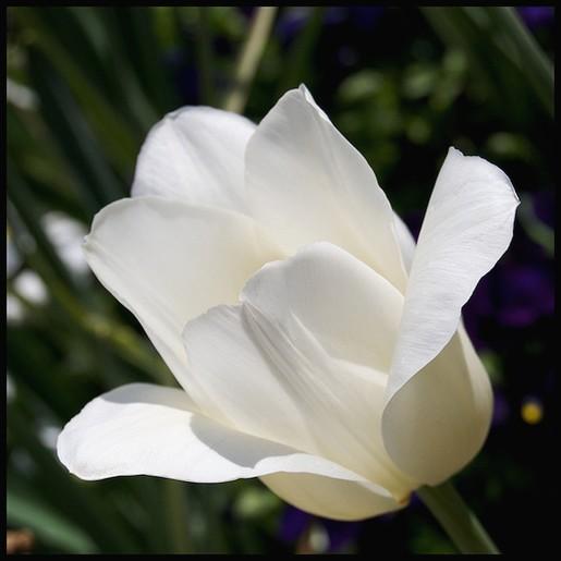 white tulip for wedding flowersjpg