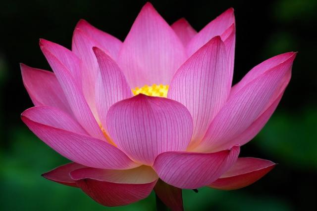 https://i1.wp.com/www.flowerpicturegallery.com/d/5298-2/Big+dark+pink+Lotus+Flower+photo.jpg