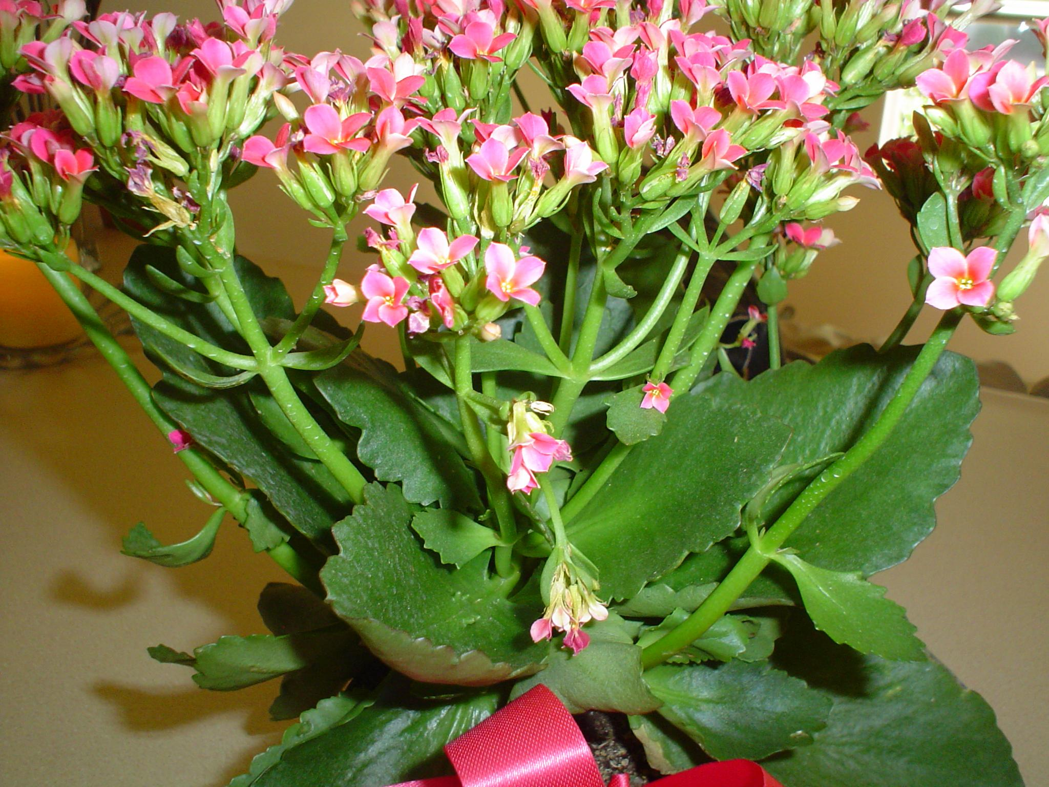 Pink Blooming Succulent Is A Kalanchoe