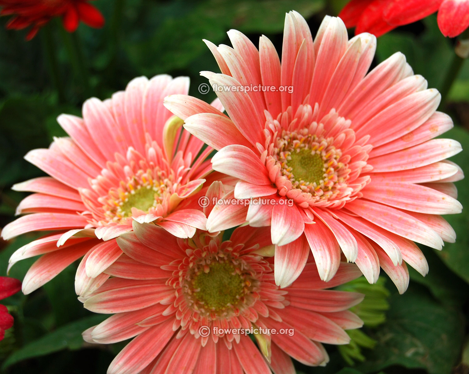 Gerbera daisy varieties Salmon pink gerbera daisy lalbagh krumbiegel remembered flower show jan 2016