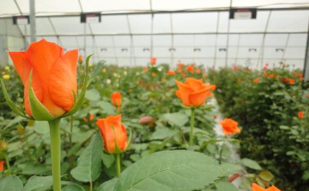 79623_roses.jpg