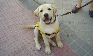 Εκπαιδεύουν σκύλους-οδηγούς με δωρεές