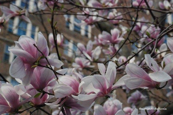 magnolias6