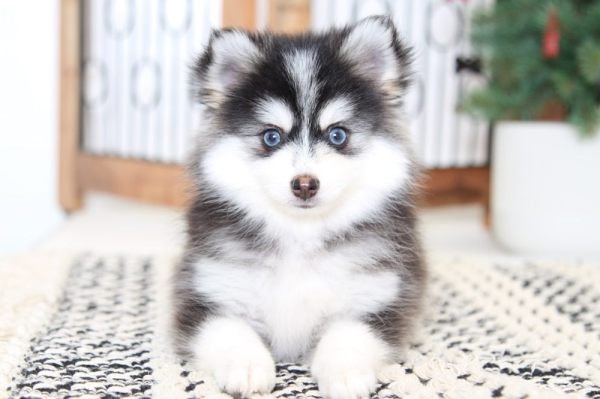 Nakita- Most Beautiful and Tiny Female Pomsky Puppy ...