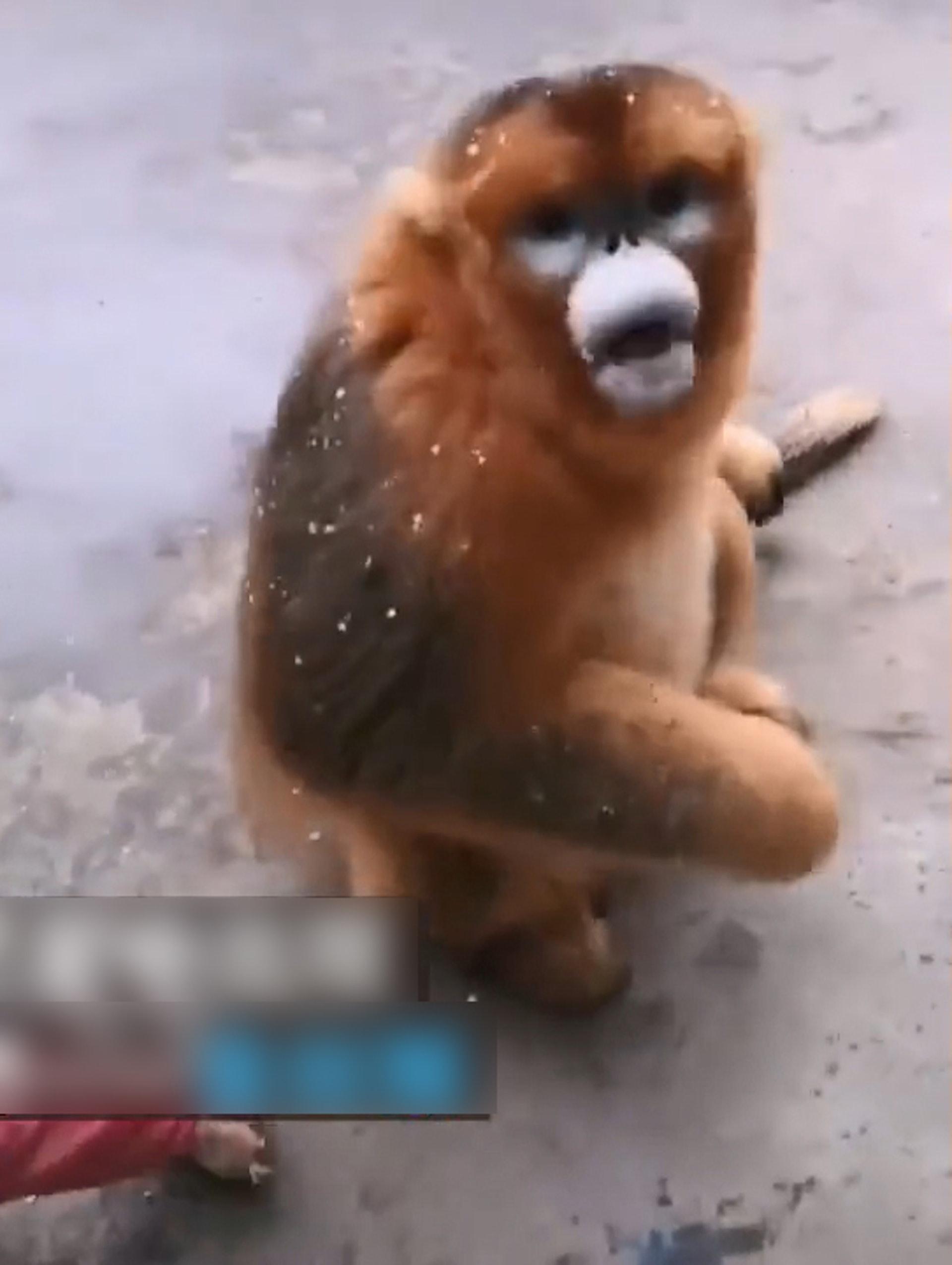 國寶不能趕!野生金絲猴入住村民家 每天大吃大喝超淡定:人類,我不想努力了 - Fluffy 寵毛孩