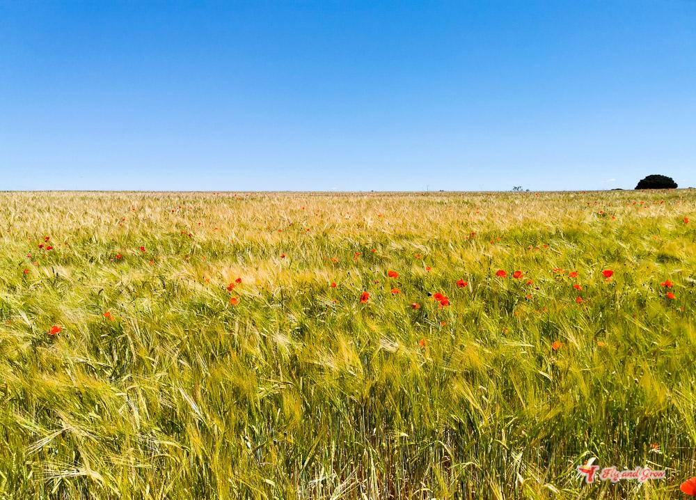 campo de amapolas y trigo
