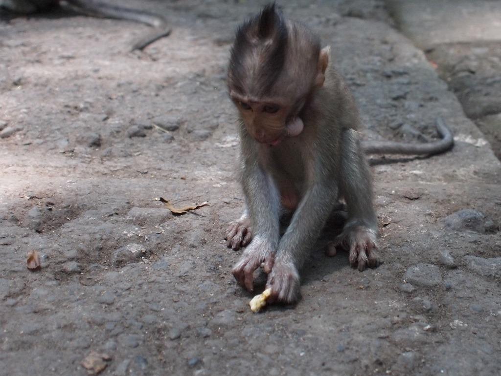 Monkey Forrest Bali baby aap
