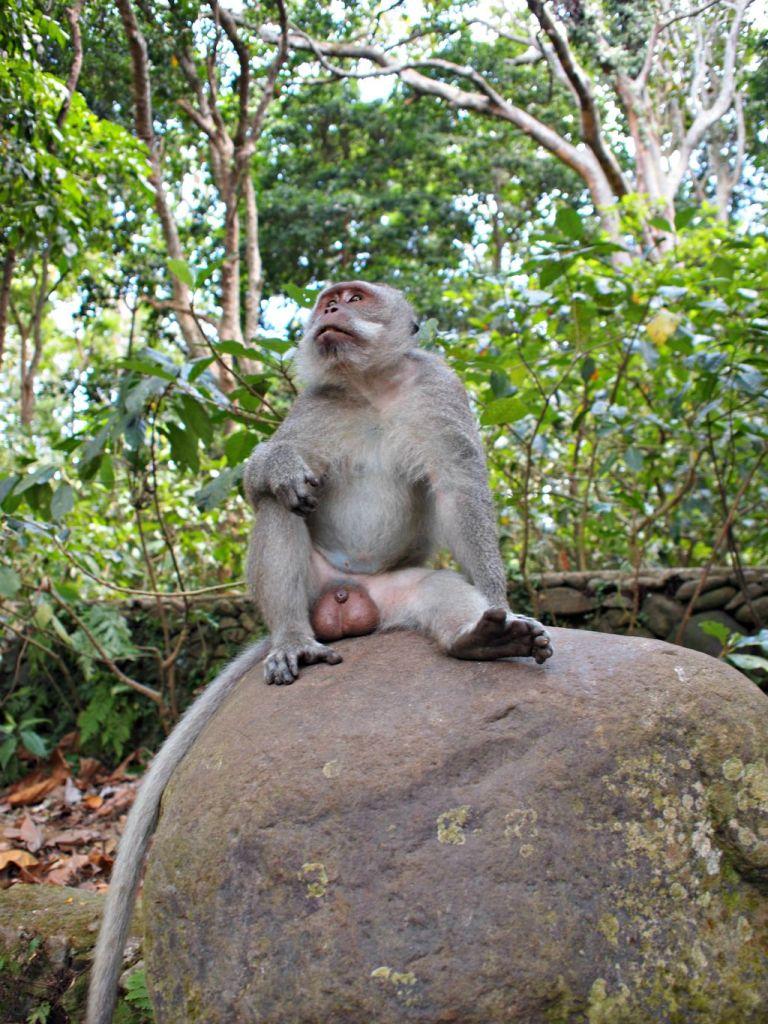 Monkey Forrest bos met apen bali