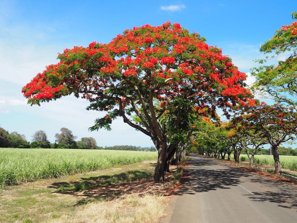 Vuurboom op mauritius