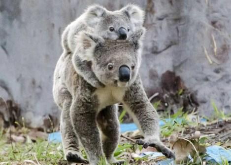 Koala mom-baby3_resized