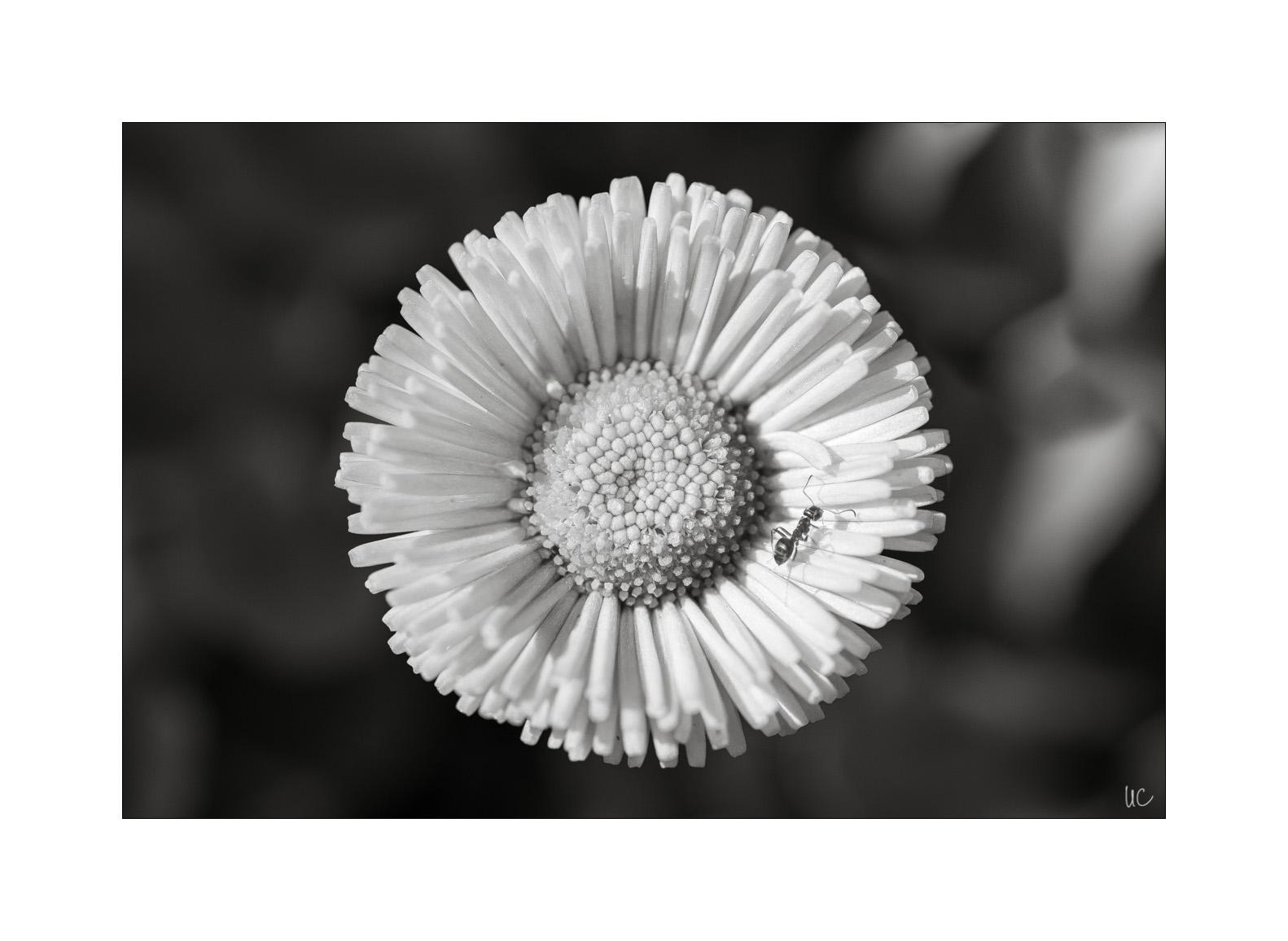 Blumen in Schwarzweiß– No. 3| Foto: Ulf Cronenberg, Würzburg