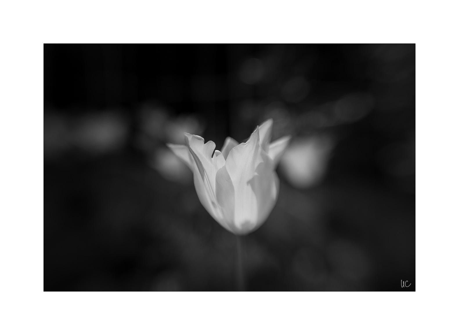 Blumen in Schwarzweiß– No. 4| Foto: Ulf Cronenberg, Würzburg