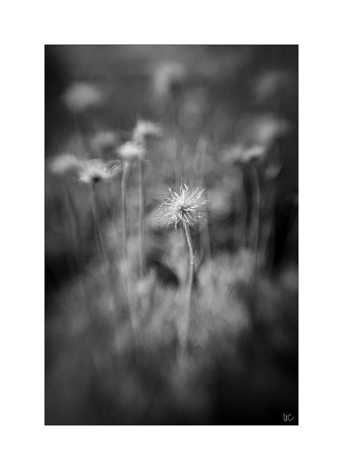 Blumen in Schwarzweiß– No. 2/1| Foto: Ulf Cronenberg, Würzburg