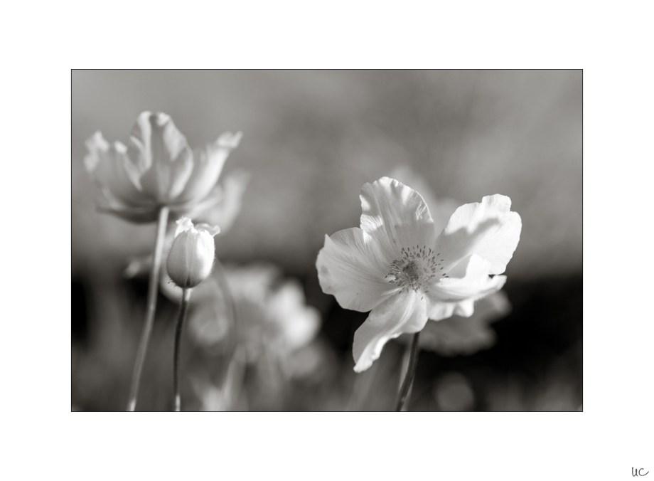Frühlingsblumen in Schwarzweiß