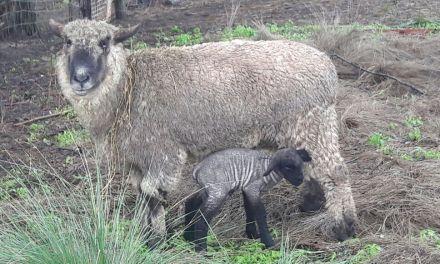 IPEA 291, primeros nacimientos ovinos con material genético de Nuevo Zelanda