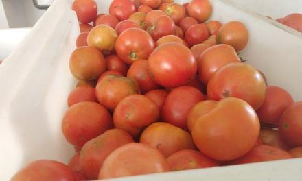 Gran cosecha de tomates orgánicos en el IPEA 291