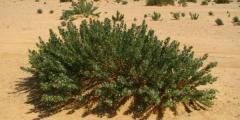 عشبة الحرمل و فوائدها العلاجية و أعراضها الجانبية