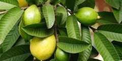 فوائد اوراق الجوافة للصحة العامة و العناية بالبشرة والشعر