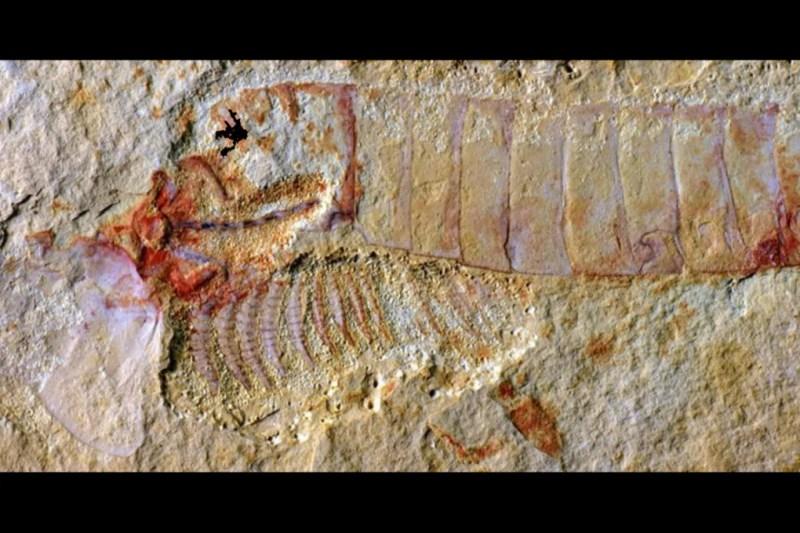 Un'immagine del fossile di granchio a ferro di cavallo.