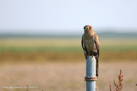 Montagu's harrier on the look out