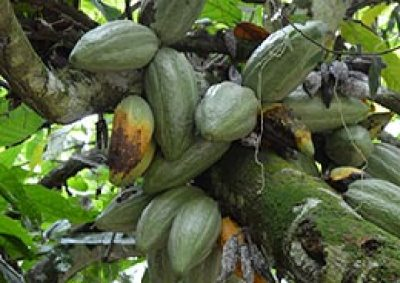 Cacao Black Rot