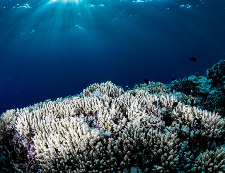 Widespread Coral Bleaching