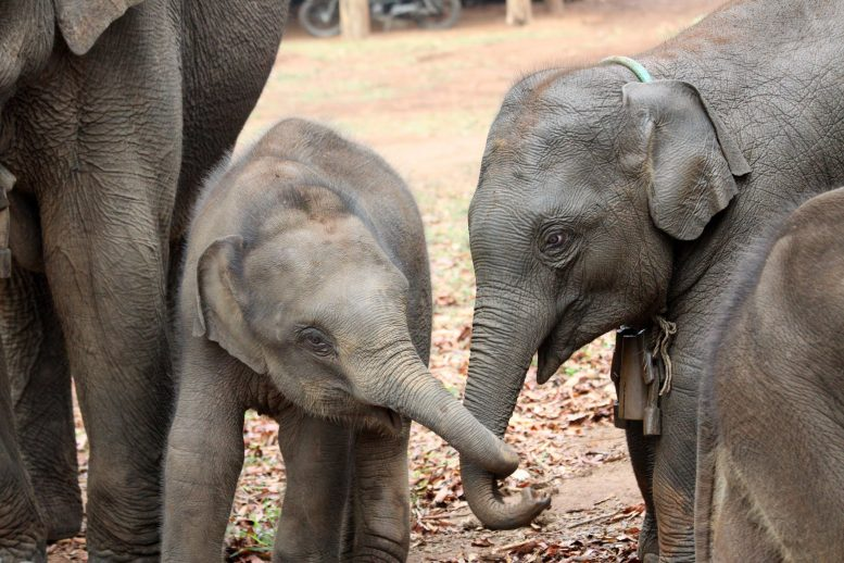 Asian Elephant Siblings Together