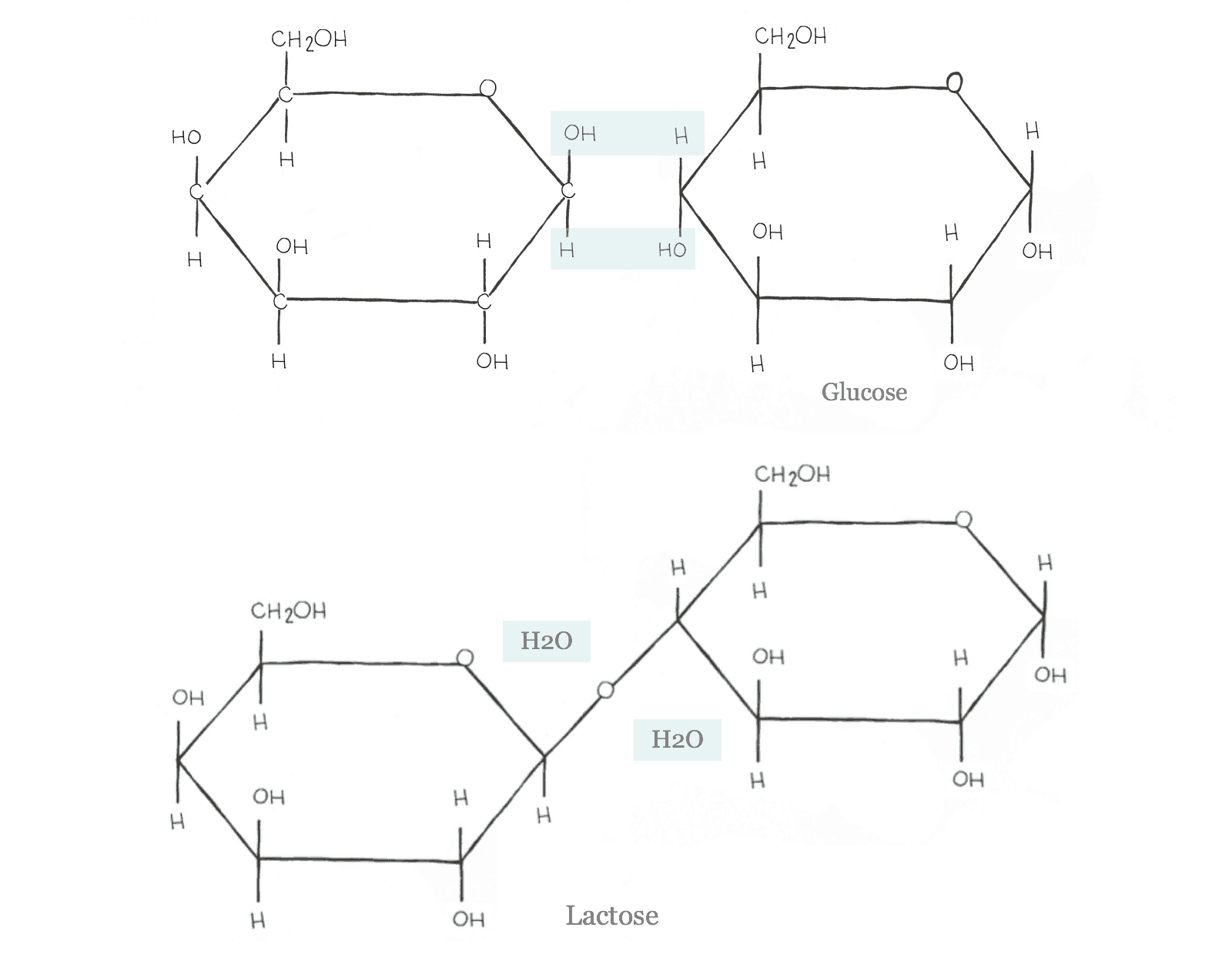 Dehydration Synthesis Diagram