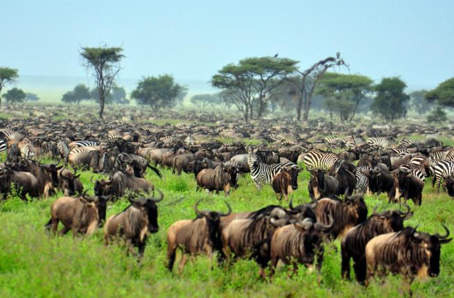 The Great Migration at Serengeti National Park