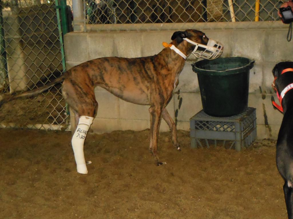 Image result for greyhound racing