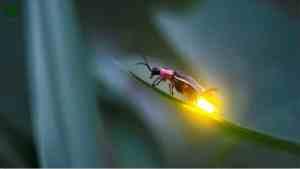 Ateş Böcekleri Nasıl Işık Yayar