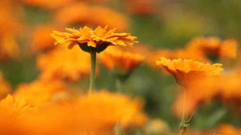evde kafide çiçeği yetiştirmek