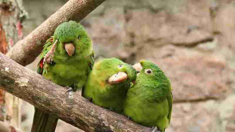 Japones Muhabbet Kuşu