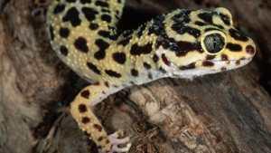 leopard-geko