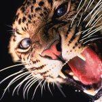 Onça-pintada, um dos animais na lista de ameaçados que vive na área da Flona Jamanxim.