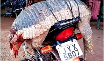 Animal-pesando-mas-de-40-quilos