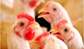 Entrada-de-aves-vivas-do-Tocantins-no-Pará-é-proibida