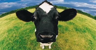 destaque-436594-vacas-saudaveis-imas