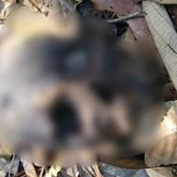 Crânio Humano encontrado na mata em estrada vicinal de Novo Progresso