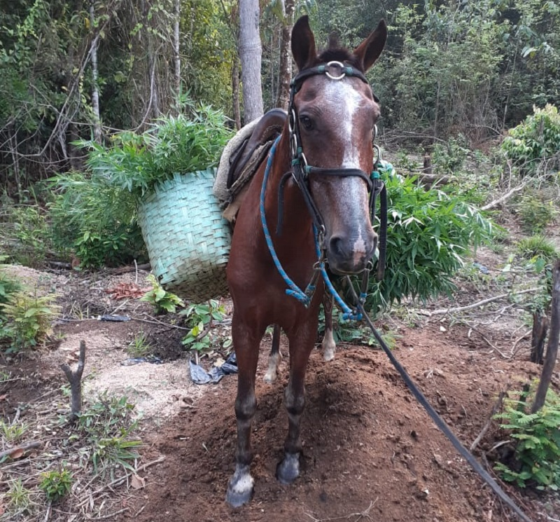 Animal usado pra transportar as plantas na propriedade. (Foto:Divulgação Policia Civil)
