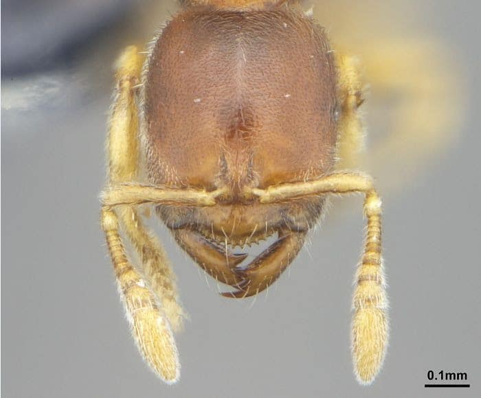 Cientistas da UFPR descobrem novas espécies de formigas no Brasil, México e Colômbia
