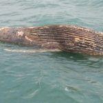 Carcaça de baleia chama atenção em Guarapari
