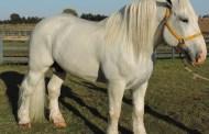 Cavalo de quase uma tonelada vira 'xodó' em fazenda no interior de SP