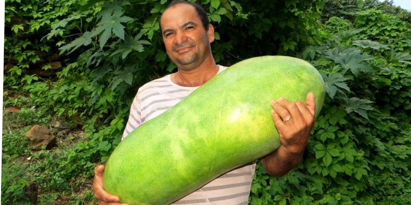Agricultor colhe melancia com 24,3 kg