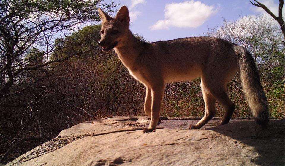 Bela imagem de uma raposa na Reserva Verdes Pastos, em São Mamede
