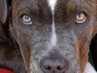 Uccise cani, gli sequestrano pitbull Polizia e veterinari prelevano animale