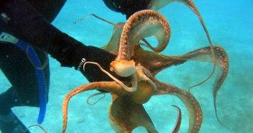 Ein Oktopuss auf Malta